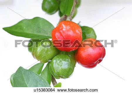 Stock Photo of Acerola u15383084.