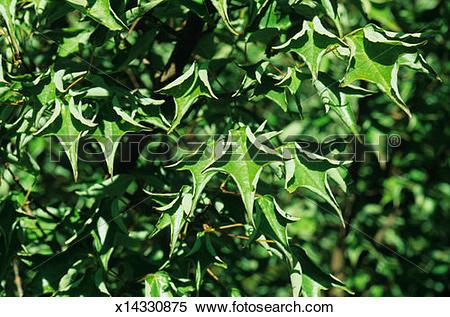 Stock Image of Trident maple tree (Acer buergerianum), CV: Naruto.