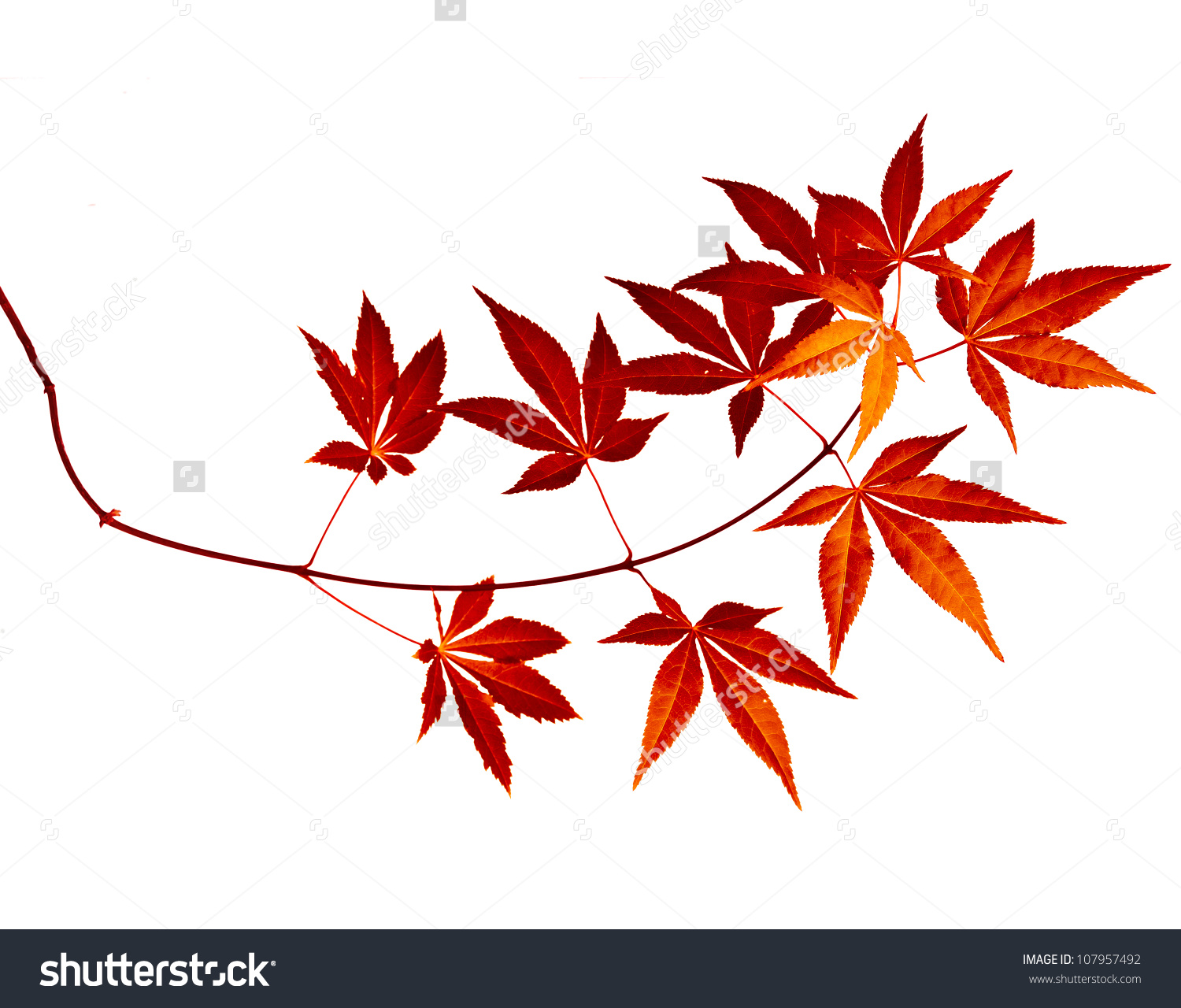 Japanese Red Autumn Maple Tree Leaves Stock Photo 107957492.