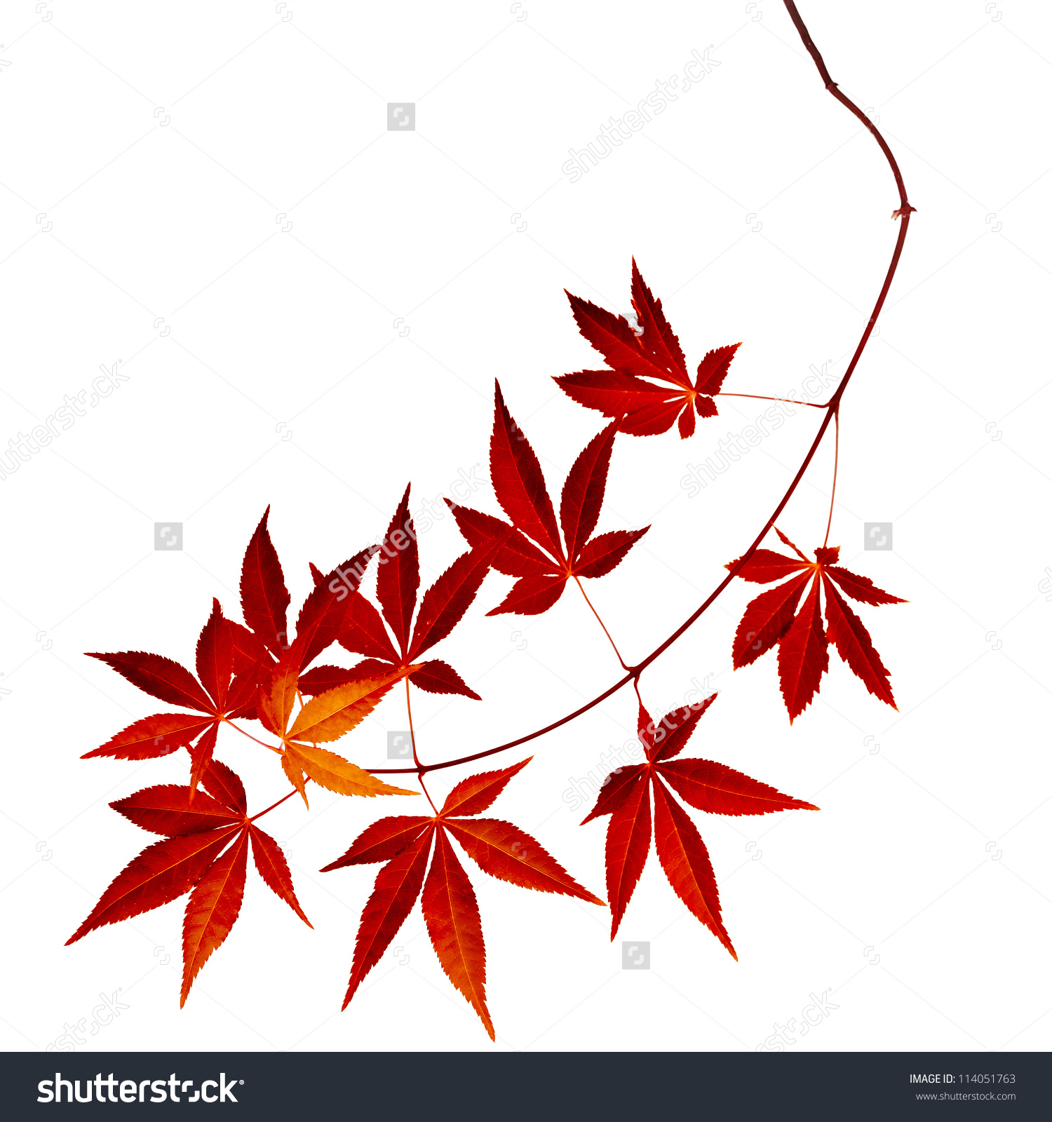Japanese Red Autumn Maple Tree Leaves Stock Photo 114051763.