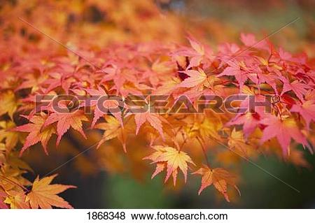 Pictures of japanese maple (acer palmatum) 1868348.