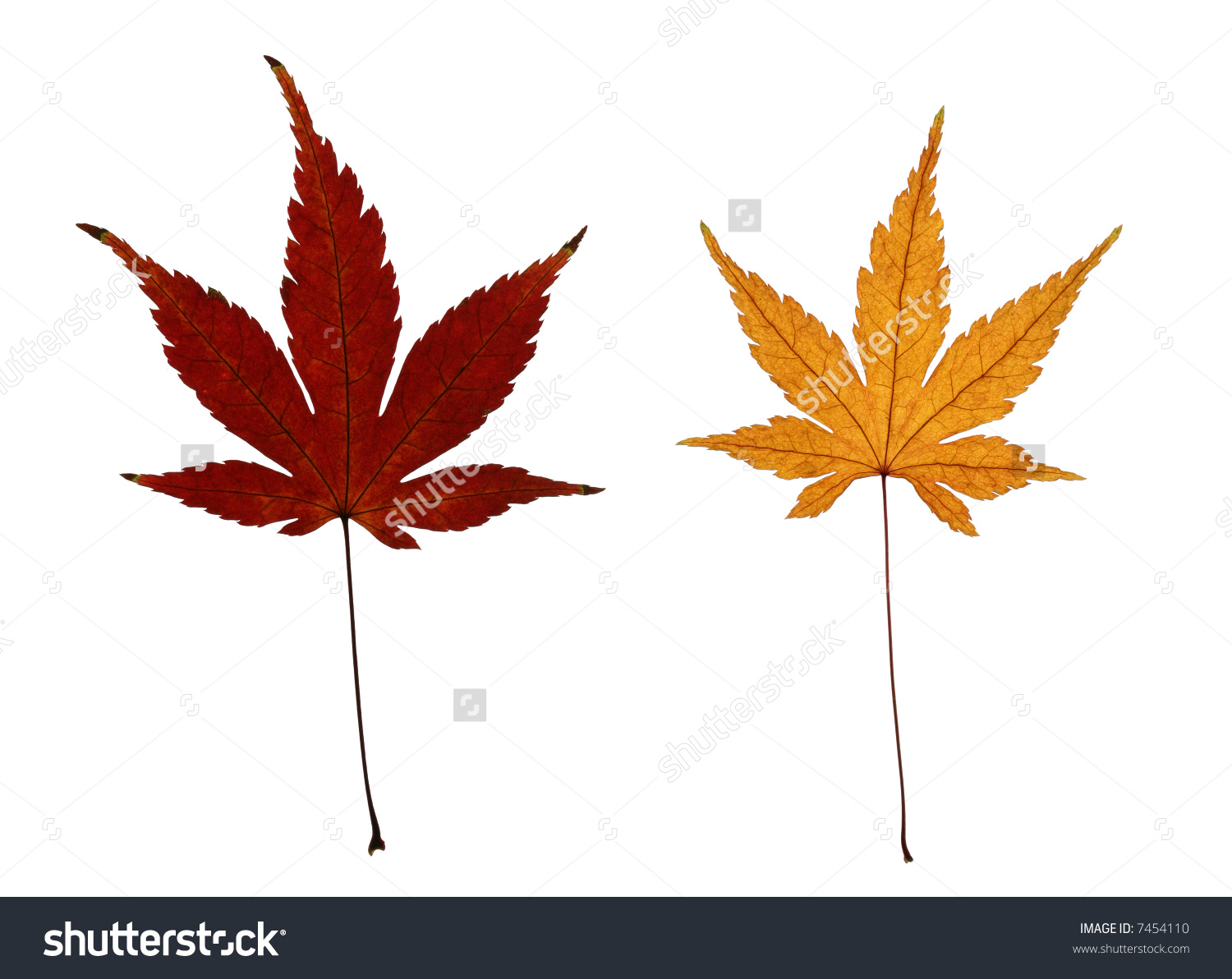 Two Autumn Leaves Japanese Maple Acer Stock Photo 7454110.