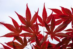 Red Leaves Of Japanese Maple Acer Palmatum Stock Photo.