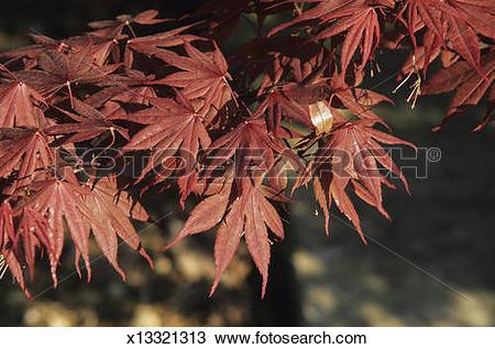 Stock Photo of Japanese maple (Acer palmatum), red, CV: Kasagiyama.