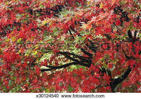 Stock Photography of Japanese maple trees (Acer palmatum), in.