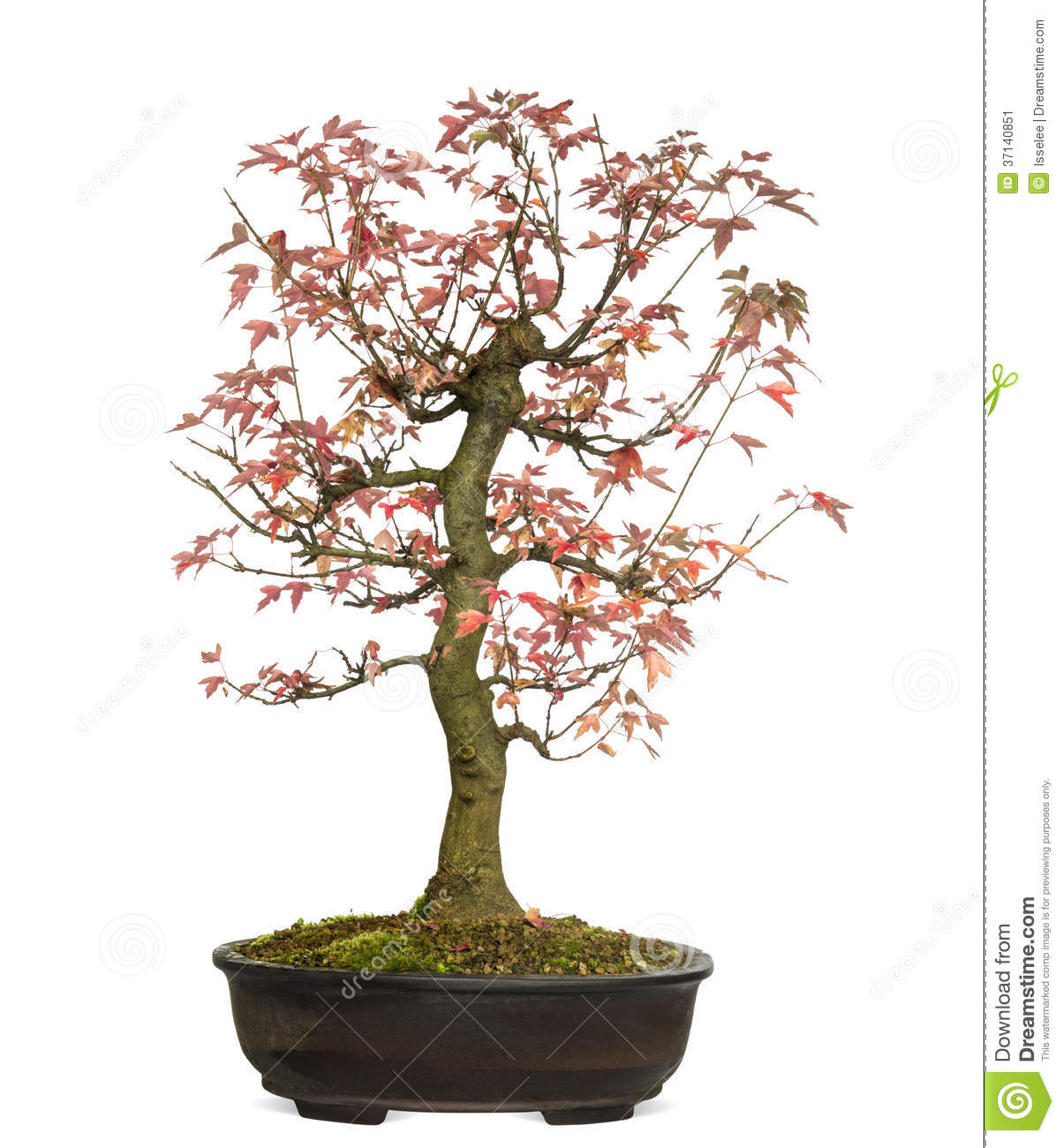 Trident Maple Bonsai Tree, Acer Buergerianum, Isolated Stock Image.