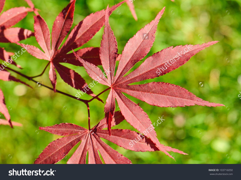 Leaves Red Japanese Maple Acer Palmatum Stock Photo 103716050.