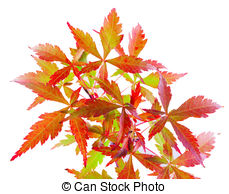 Acer palmatum Illustrations and Clip Art. 18 Acer palmatum royalty.