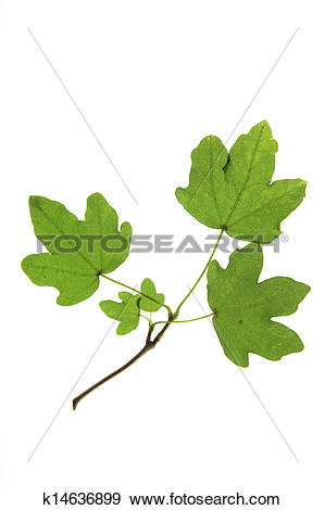 Stock Photograph of Field maple (Acer campestre) k14636899.