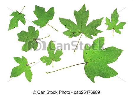 Pictures of Field maple (Acer campestre) different leaves isolated.