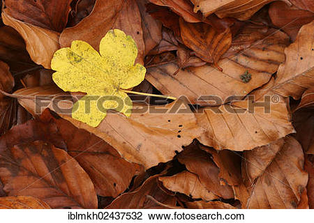 """Stock Photo of """"Leaf of a Field Maple (Acer campestre) on Beech."""