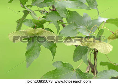 """Stock Photo of """"Field Maple (Acer campestre), leaves and fruit."""