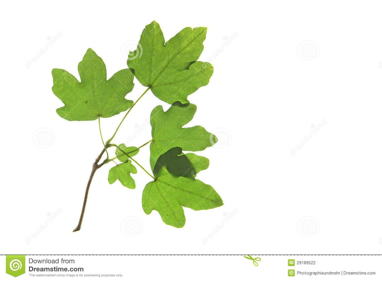Field Maple (Acer Campestre) Stock Photography.