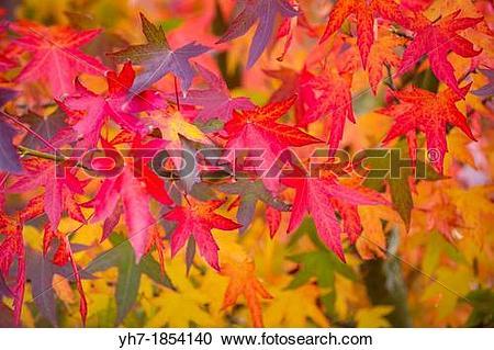 Stock Photography of Acer Palmatum, Japanese Maple, Norfolk.