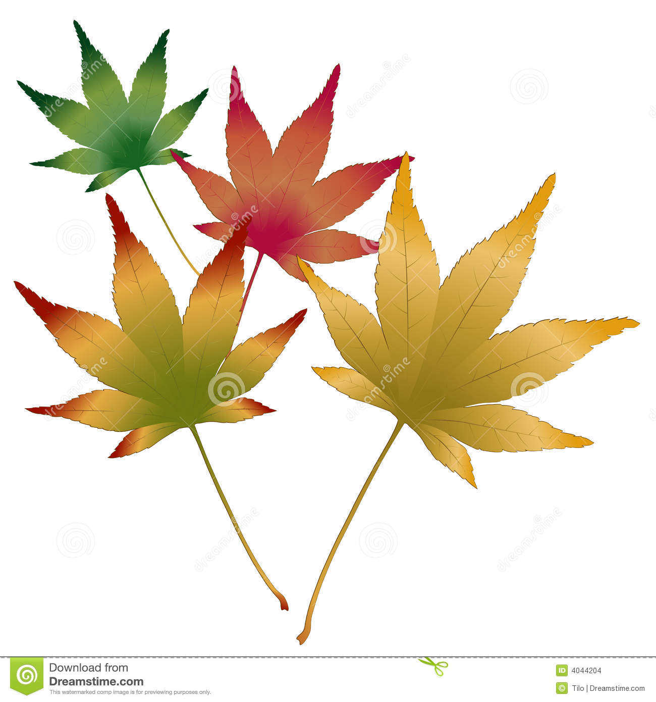 Japanese Maple Stock Illustrations.