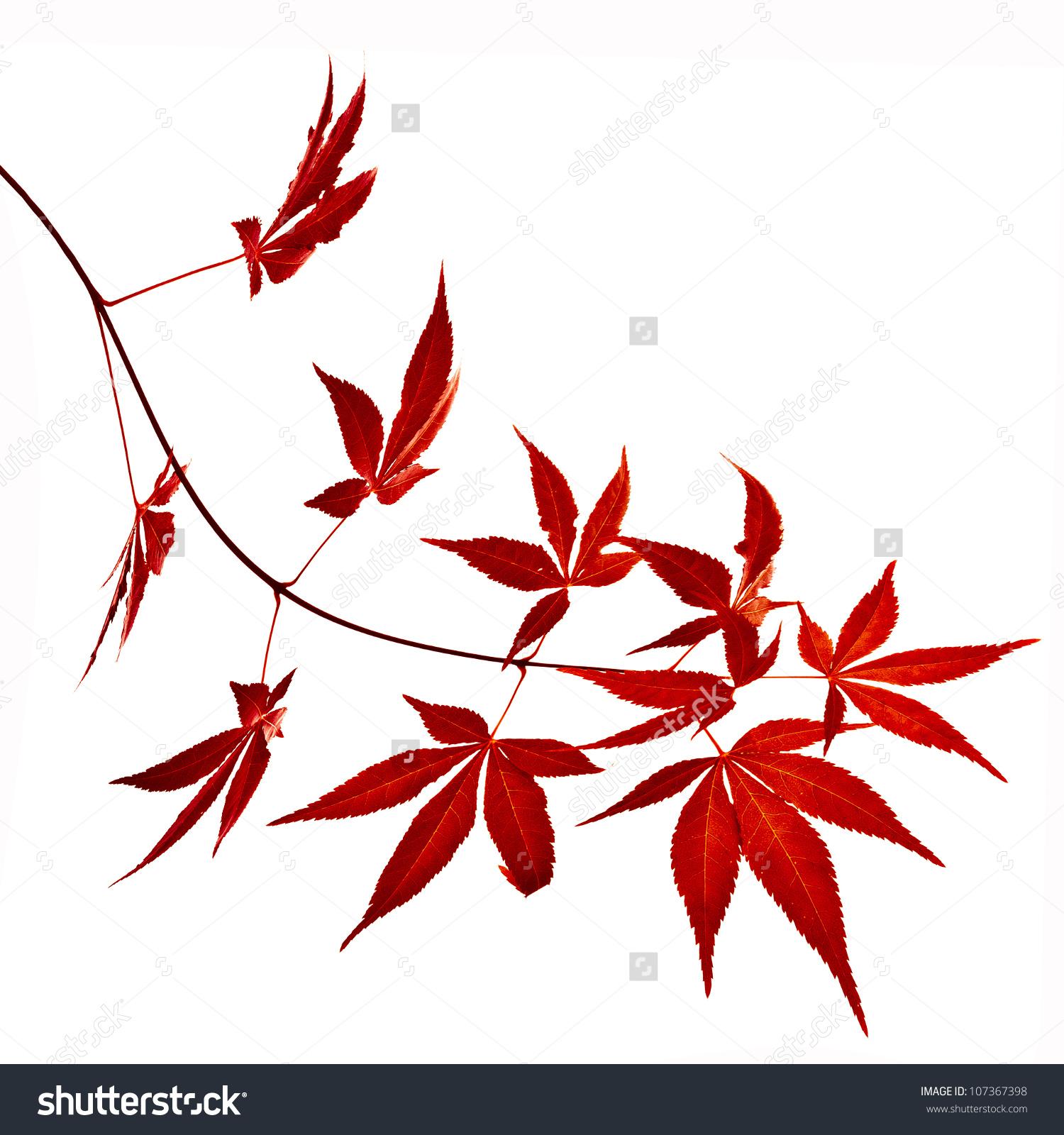 Autumn Foliage Japanese Red Maple Tree Stock Photo 107367398.