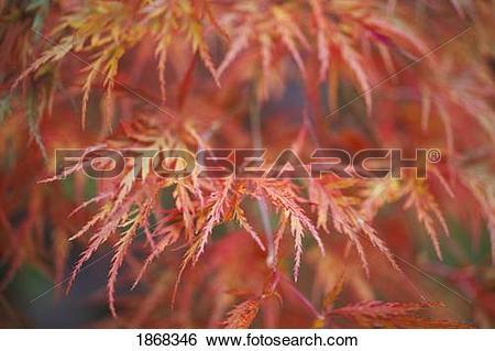Stock Images of japanese maple (acer palmatum) 1868346.