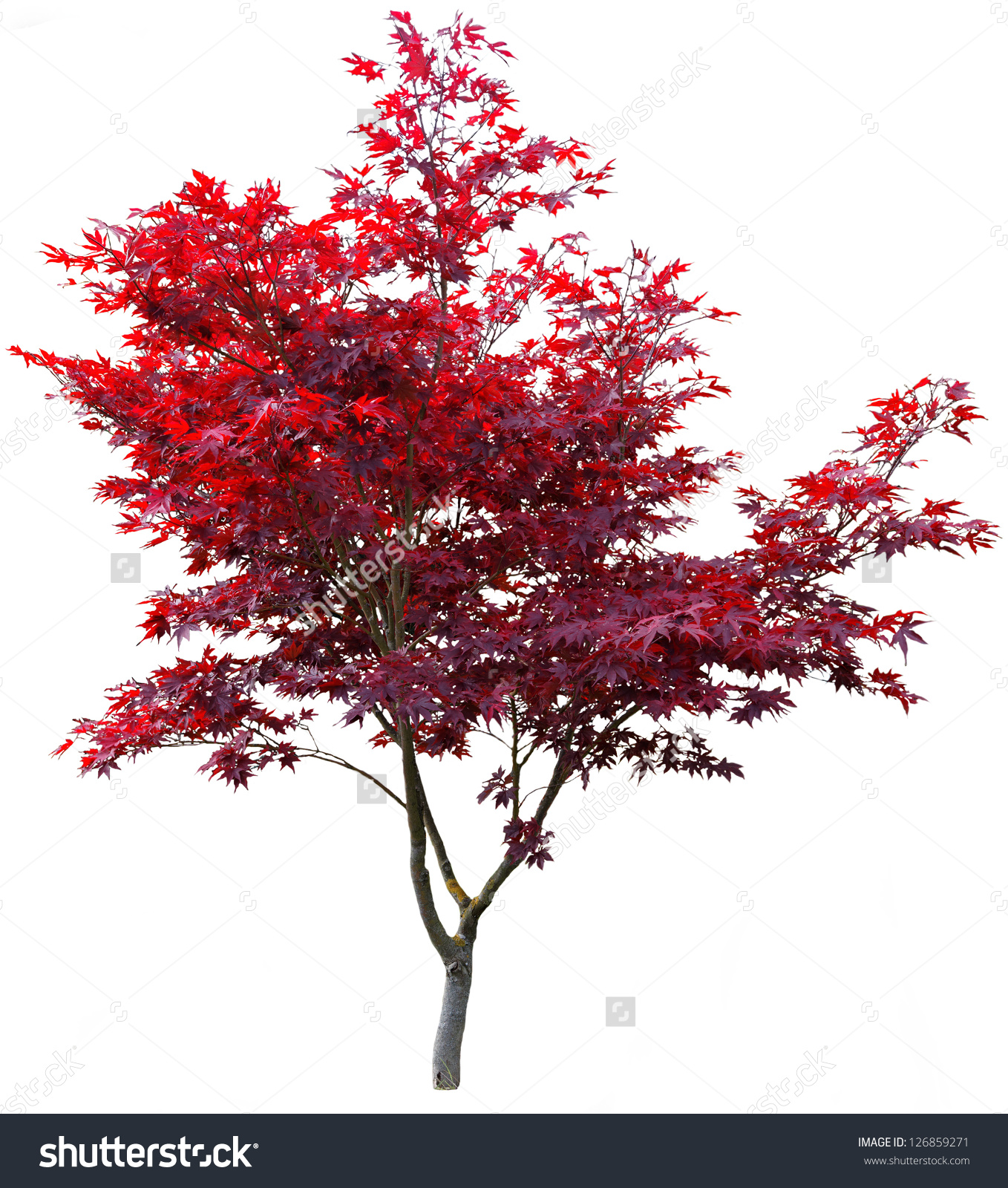 Japanese Maple Clipart Clipground