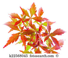 Acer palmatum Illustrations and Clipart. 10 acer palmatum royalty.