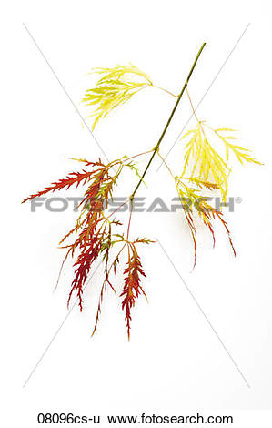 Stock Images of Twig of Japanese Maple (Acer palmatum dissectum.