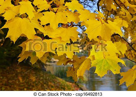 Stock Photography of Autumn gold. Norway maple (Acer platanoides.