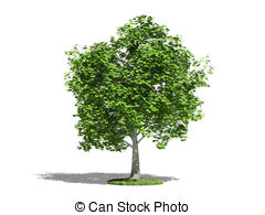 Stock Illustration of Maple or Acer platanoides.