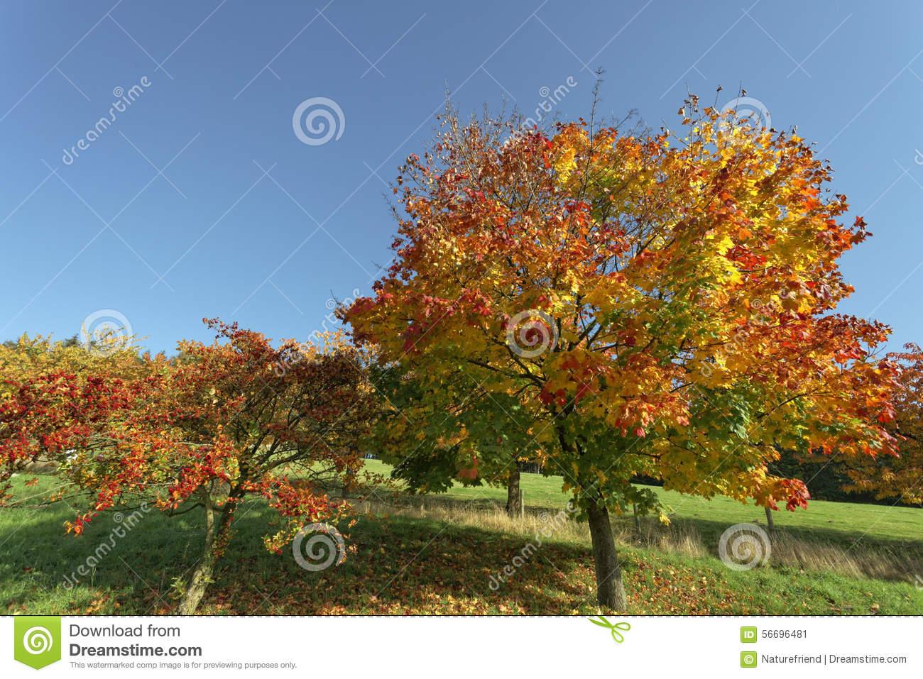 Acer Platanoides, Norway Maple In Autumn, Hagen, Lower Saxony.