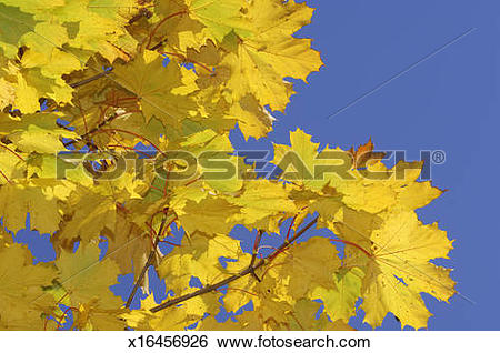 Stock Images of Norway Maple (Acer platanoides) against clear blue.