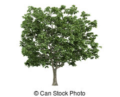 Acer platanoides Illustrations and Clip Art. 12 Acer platanoides.