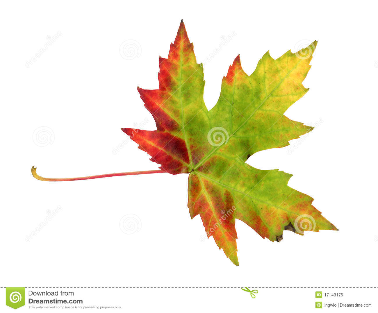 Maple Leaf In Autumn, Acer Platanoides Royalty Free Stock Photo.