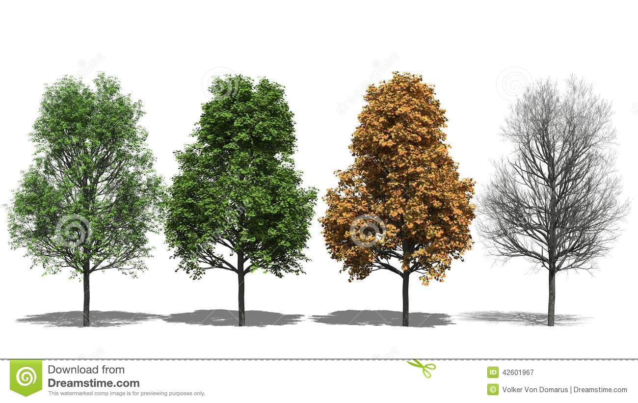 Acer Platanoides (Four Seasons) Stock Illustration.