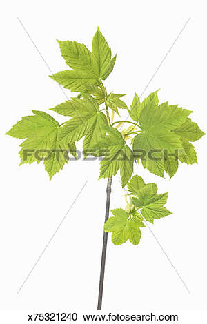 Stock Photography of Sycamore maple (acer pseudoplatanus.