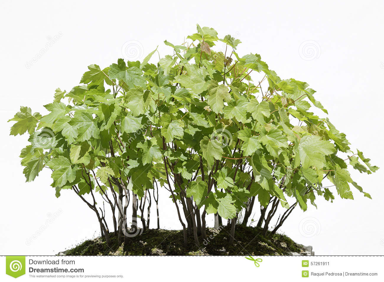 Acer Pseudoplatanus (Four Seasons) Stock Illustration.