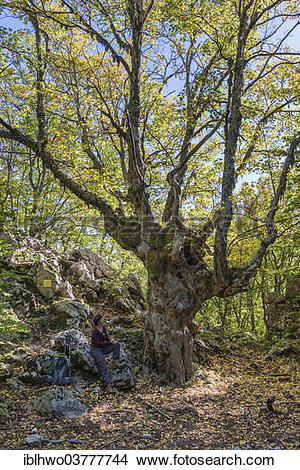 "Stock Photo of ""Sycamore Maple (Acer pseudoplatanus), hiker."