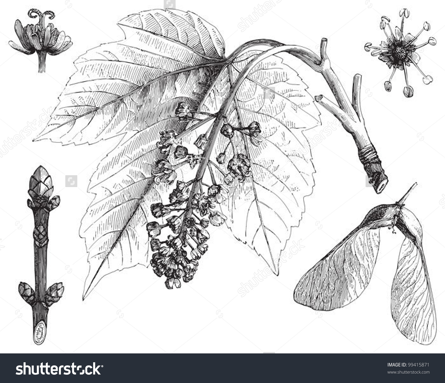Sycamore Maple Acer Pseudoplatanus Vintage Illustration Stock.