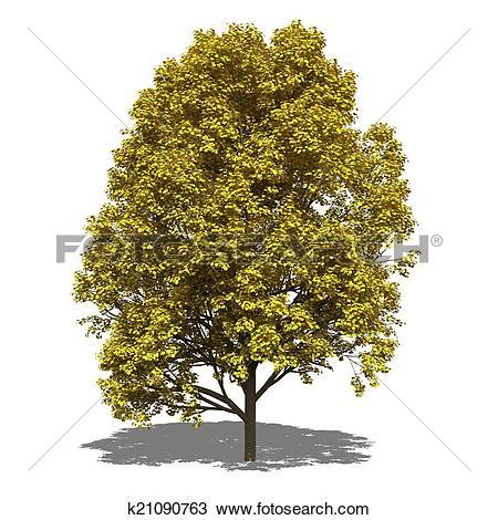 Drawing of Acer pseudoplatanus (autumn) k21090763.