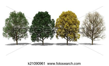 Clipart of Acer pseudoplatanus (Four Seasons) k21090961.