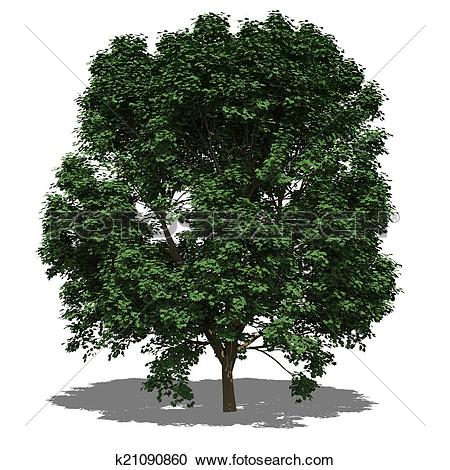 Stock Illustrations of Acer pseudoplatanus (summer) k21090860.