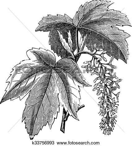 Clipart of Sycamore or Sycamore Maple or Acer pseudoplatanus.
