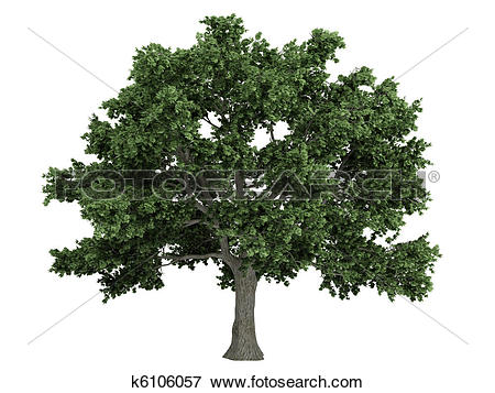 Stock Illustration of Sugar maple or Acer saccharum k6106057.