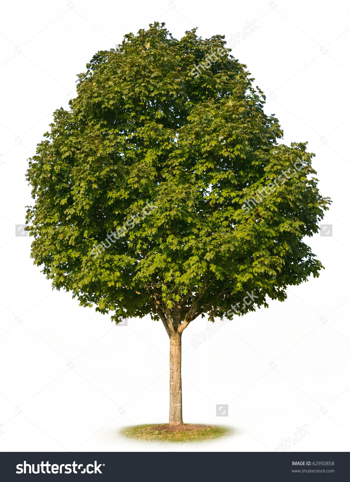 Sugar Maple Tree Acer Saccharum Isolated Stock Photo 62950858.