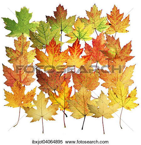 "Stock Image of ""Autumn leaves, silver maple (Acer saccharinum."