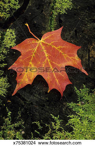 Stock Photo of Sugar Maple leaf, Acer saccharum, in autumn color.