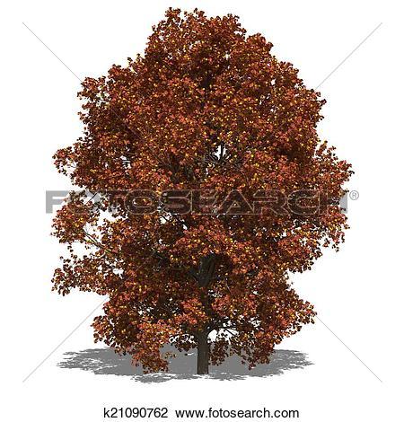 Clip Art of Acer saccharum (autumn) k21090762.