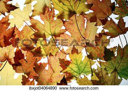 "Stock Photography of ""Autumn leaves, silver maple (Acer."