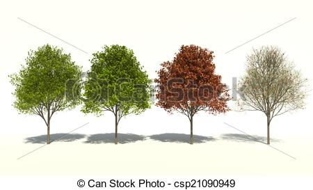 Drawing of Acer saccharum (Four Seasons).