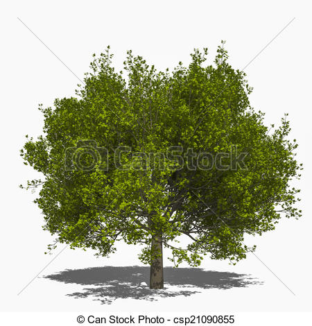 Stock Illustrations of Acer saccharum (summer).