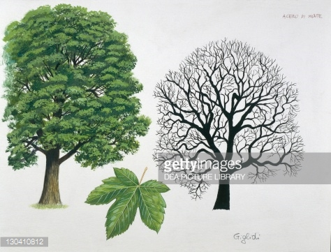Sycamore Tree Stock Illustrations And Cartoons.
