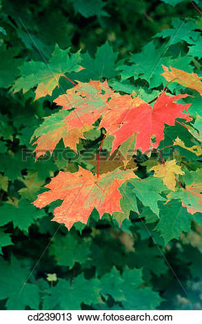 Stock Photo of Sycamore leaves (Acer pseudoplatanus) in autumn.
