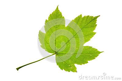 Sycamore Maple (Acer Pseudoplatanus) Bonsai Stock Photo.